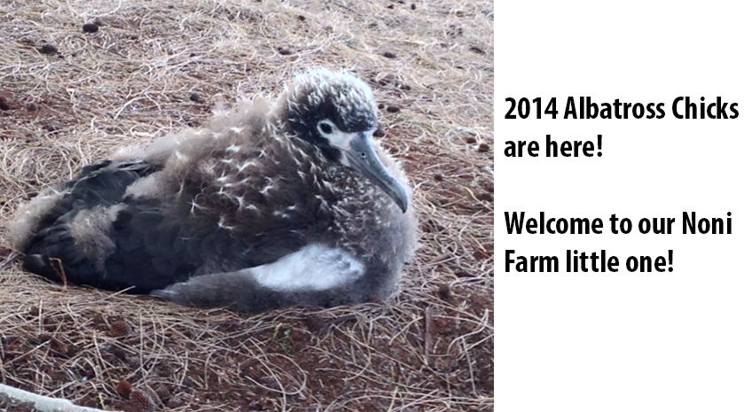 Albatross Breeding Season 2014