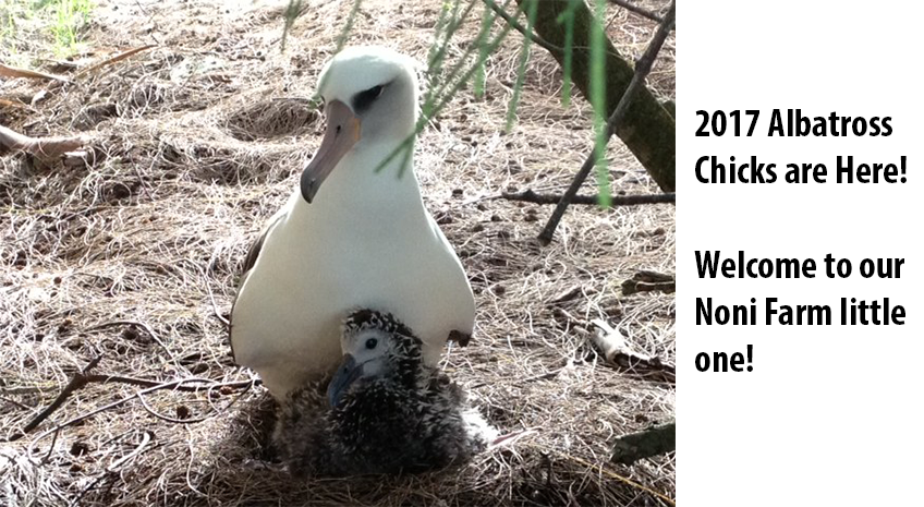 Albatross Breeding Season 2017