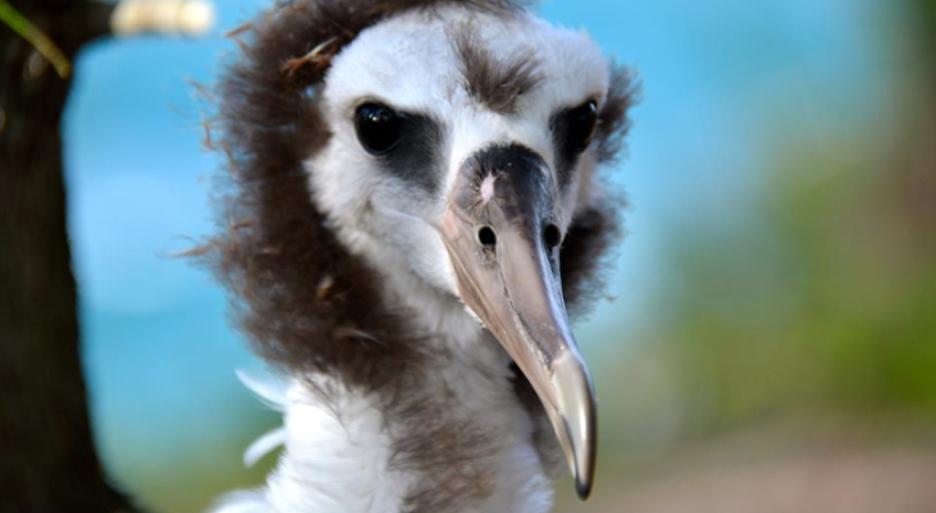 Albert the Albatross and Hawaiian Organic Noni: Two Symbols of Efficiency