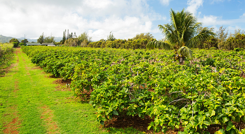 Get Back to Nature on a Hawaiian Organic Noni Farm Tour