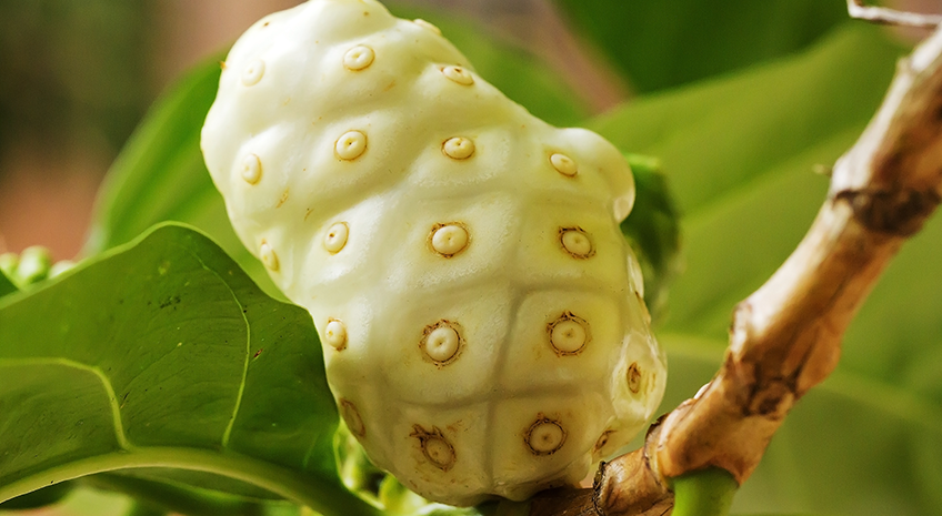 Inside Noni: The Top 4 Most Beneficial Compounds